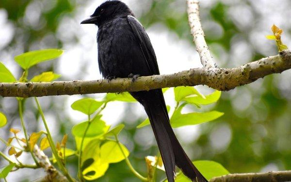 Animal Crow Bird HD Wallpaper   Background Image