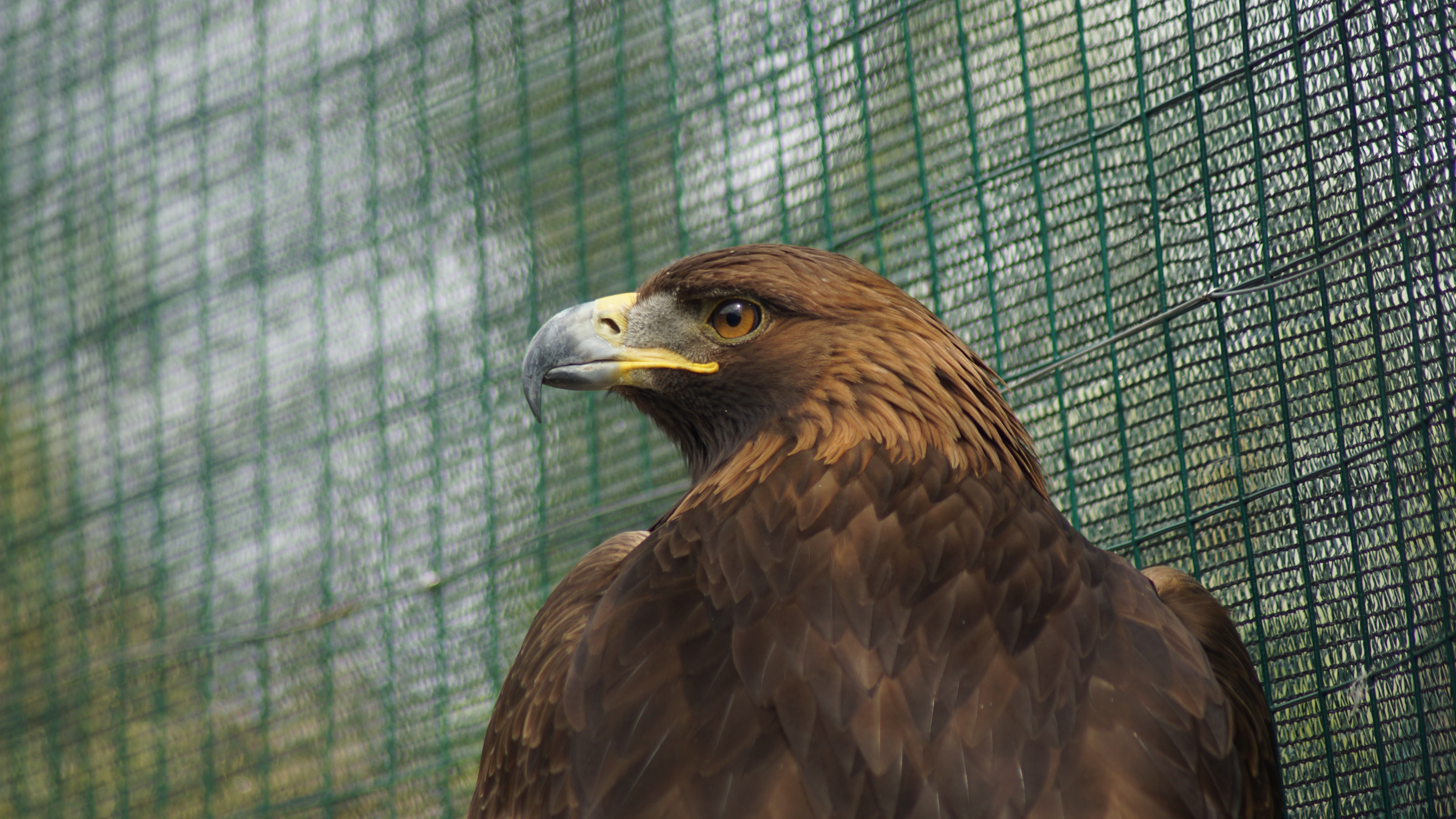 Golden Eagle 5k Retina Ultra HD Wallpaper   Background ...