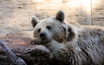 Animal - Bear Wallpapers and Backgrounds ID : 101879