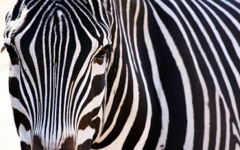 Animal - Zebra Wallpapers and Backgrounds ID : 101899