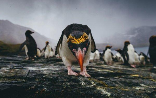 Animal Penguin Birds Penguins Rockhopper Penguin Wildlife Stare HD Wallpaper | Background Image
