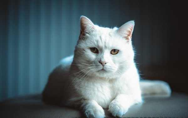 Animal Cat Cats Pet Stare HD Wallpaper | Background Image