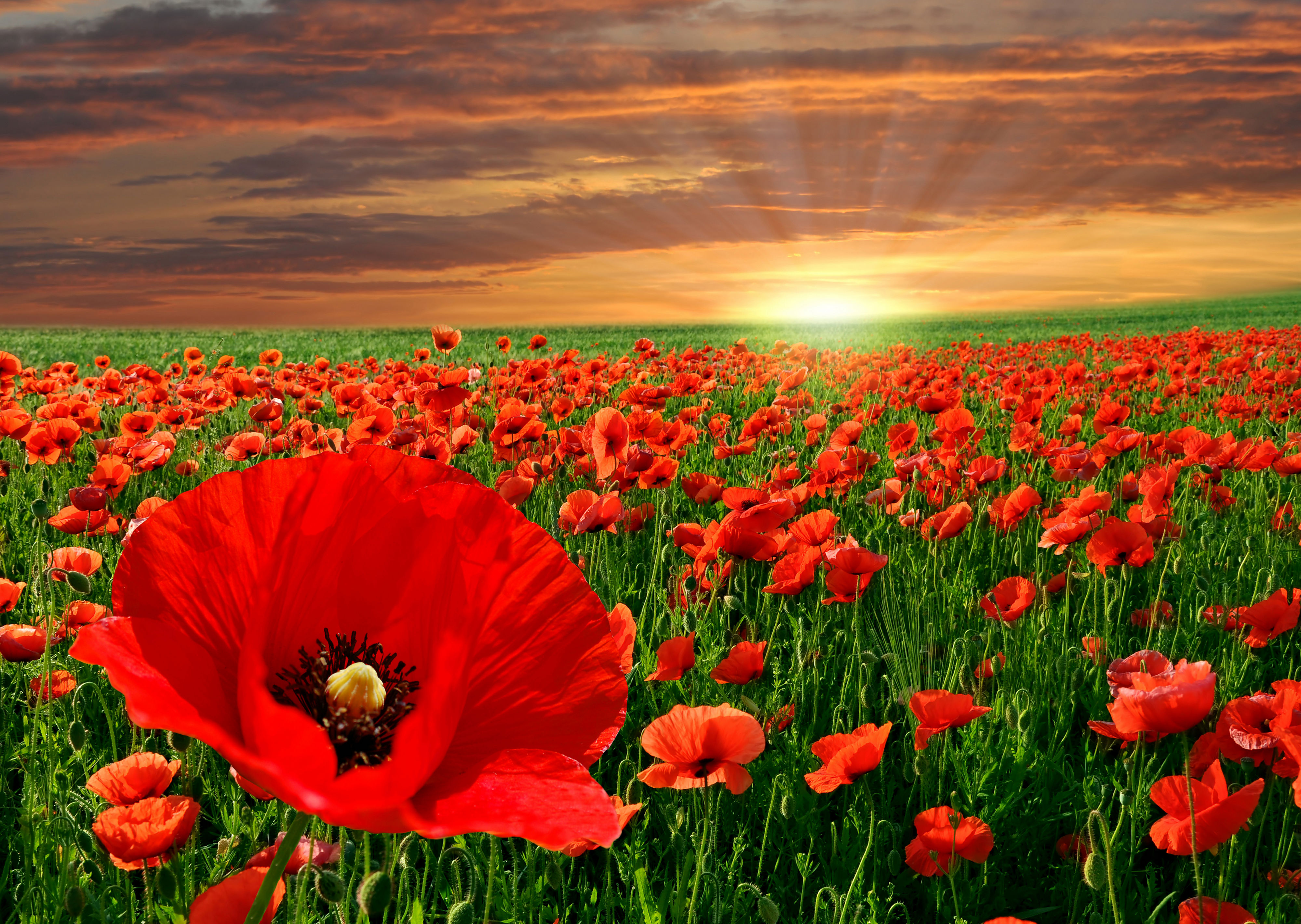 672 Poppy Hd Wallpapers Background Images Wallpaper Abyss