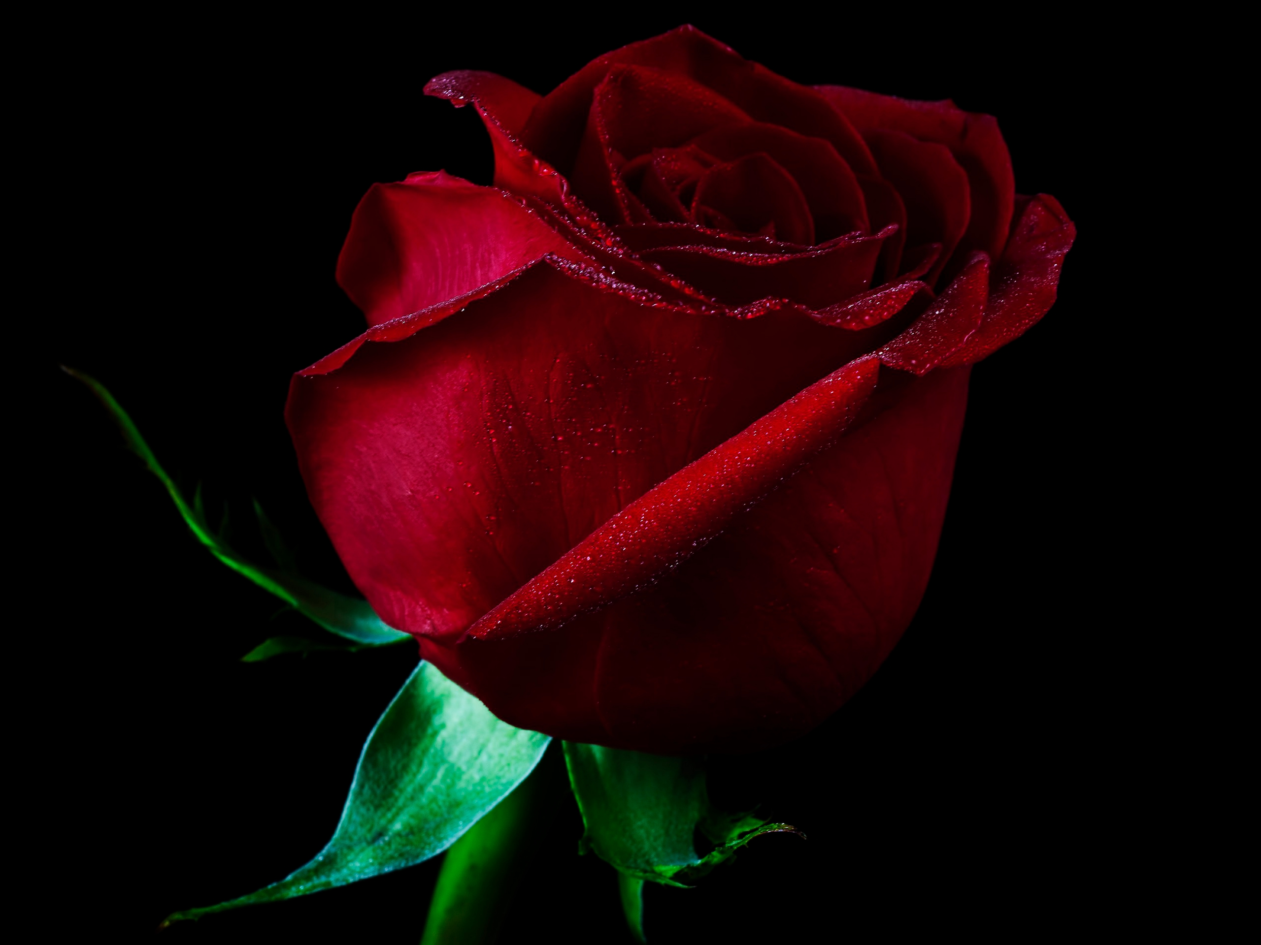 Single Red Rose Flower Stock Images: Single Red Rose Full HD Wallpaper And Background Image