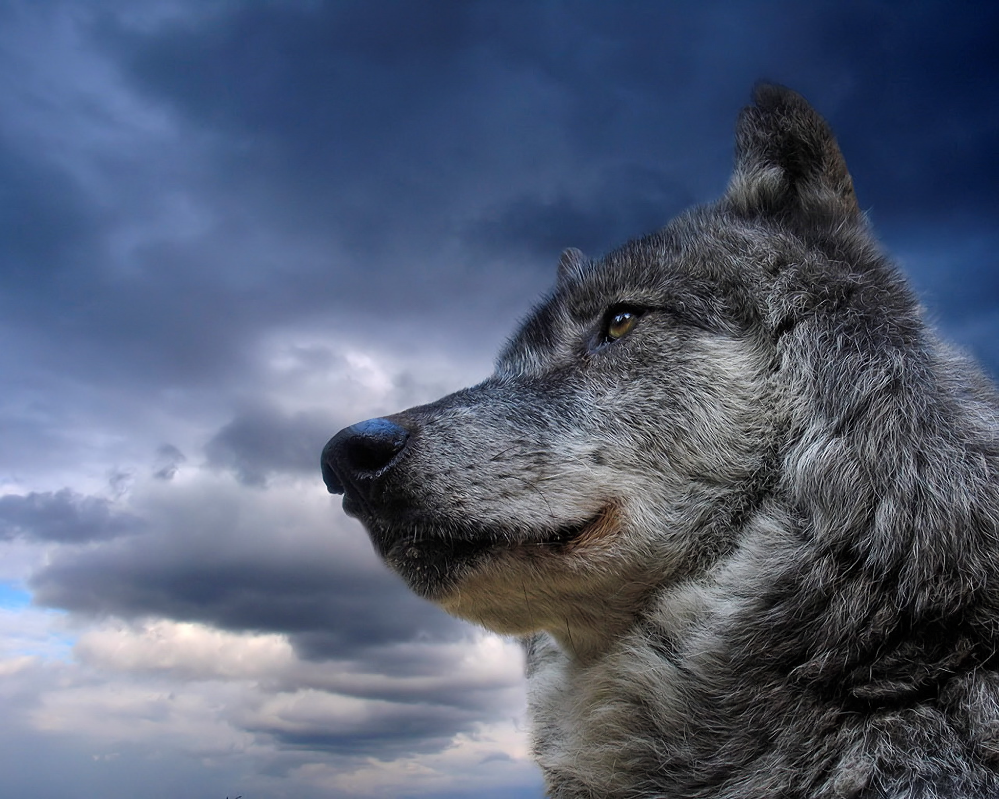 Tiere - Wolf  Tiere Gray Wolf Wallpaper