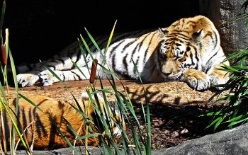 Animalia - Tigre Wallpapers and Backgrounds ID : 102085