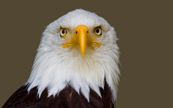 Animal - Eagle Wallpapers and Backgrounds ID : 102185