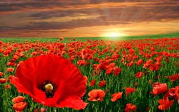 Earth - Poppy Wallpapers and Backgrounds ID : 102267