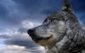 Animal - Wolf Wallpapers and Backgrounds ID : 102719
