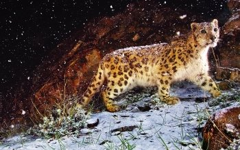 Animal - Leopard Wallpapers and Backgrounds ID : 102995