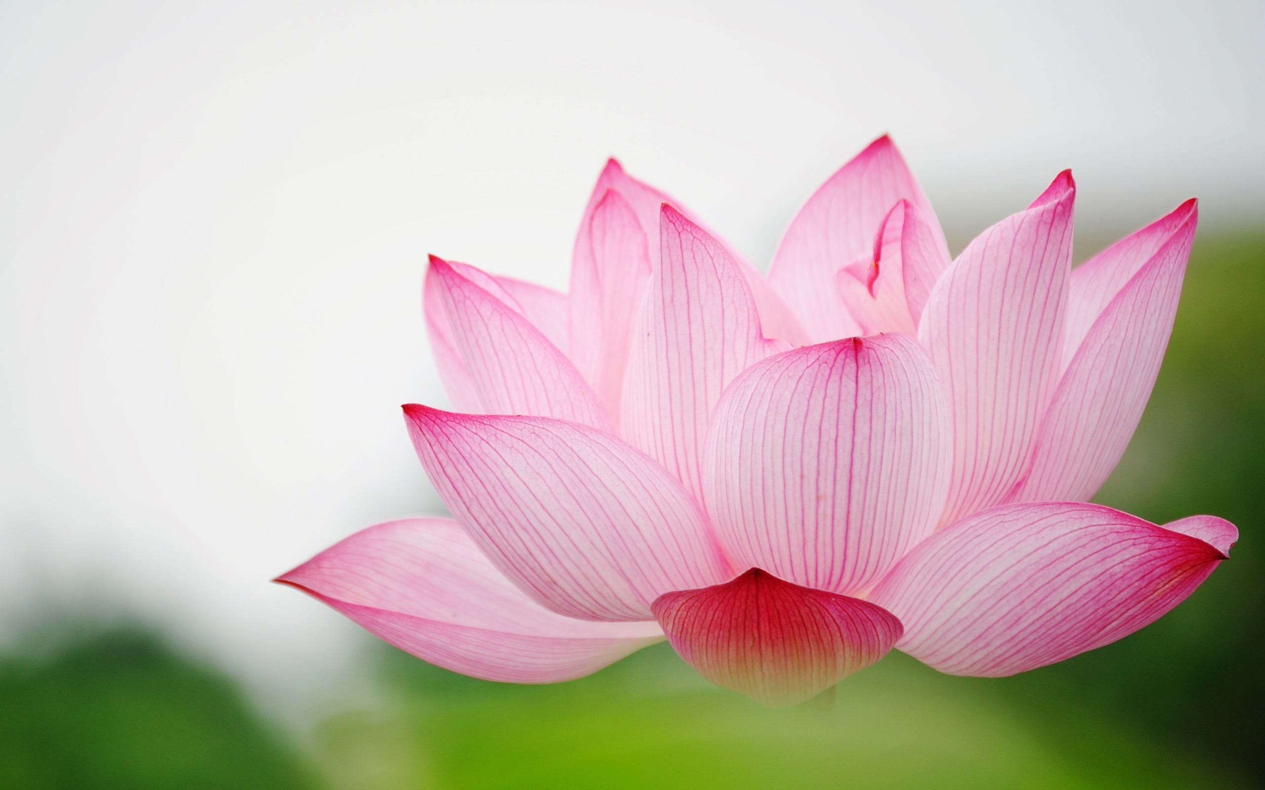 158 lotus hd wallpapers background images wallpaper abyss mightylinksfo