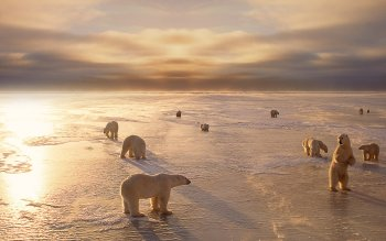 Animal - Polar Bear Wallpapers and Backgrounds ID : 103165