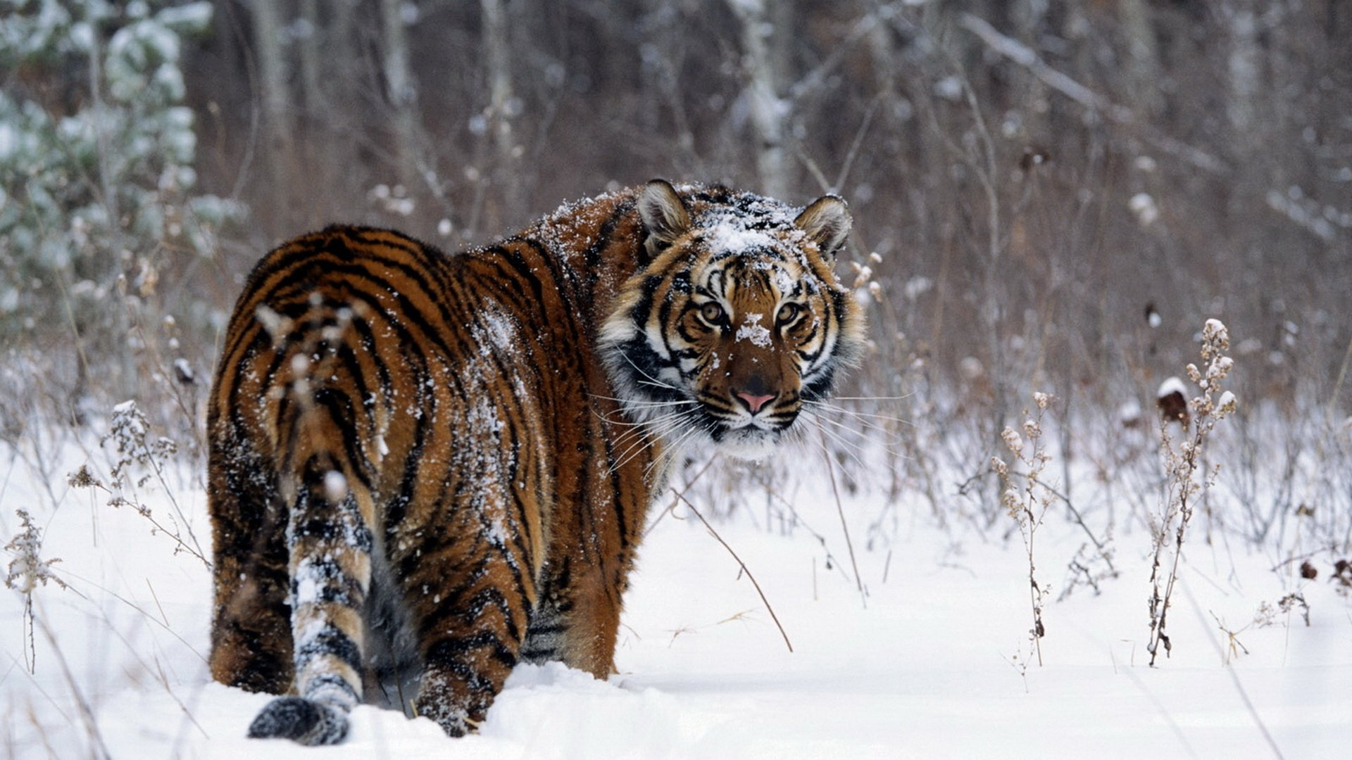 tiger on a snow field full hd wallpaper and background image