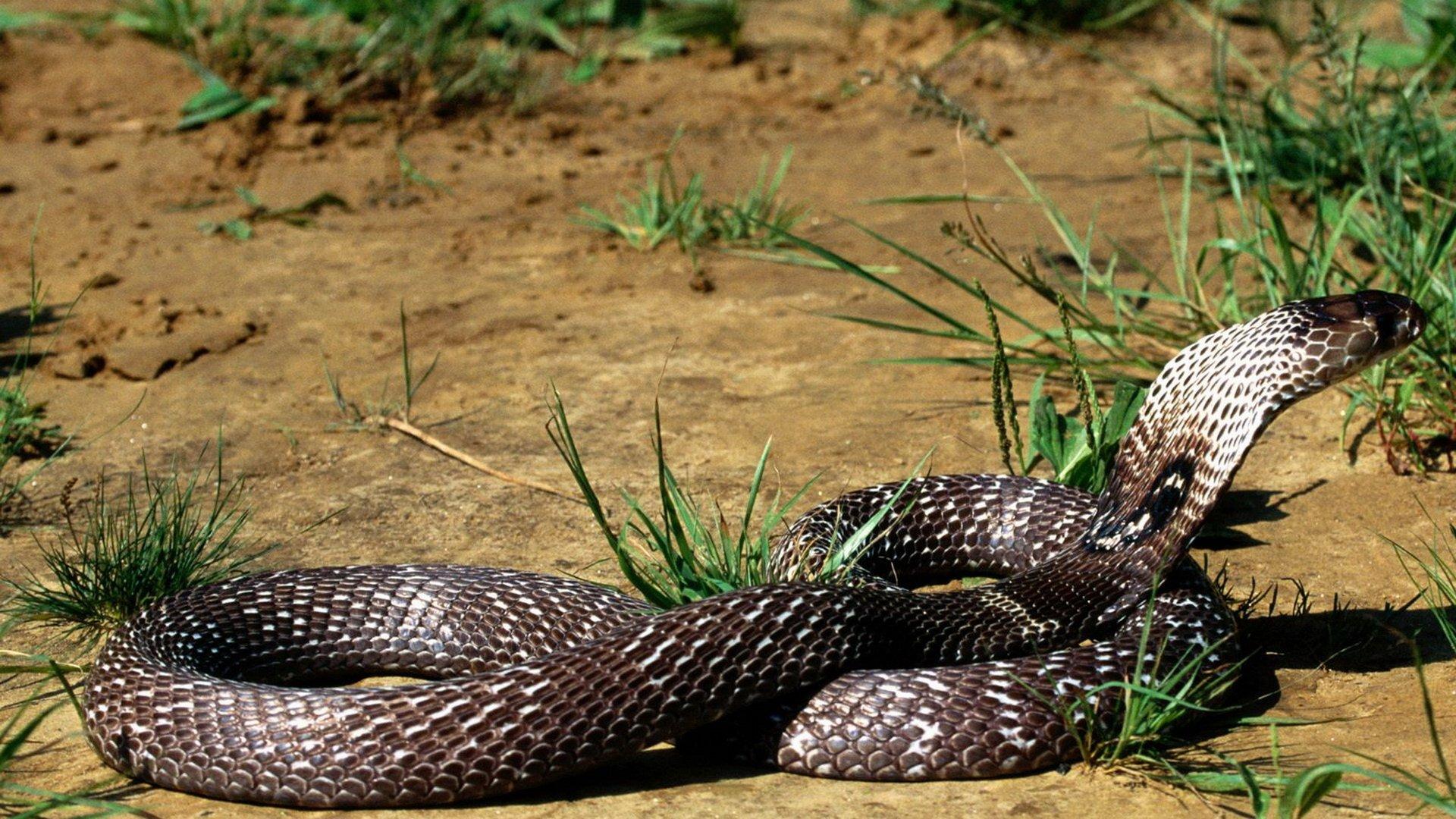 Animal - Cobra  Snake Desert Animal Reptile Wallpaper