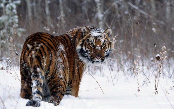 Djur Tiger Katter Snow Winter HD Wallpaper | Background Image