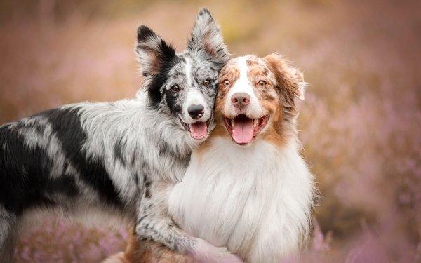 Animal Dog Dogs Border Collie Australian Shepherd Pet HD Wallpaper   Background Image