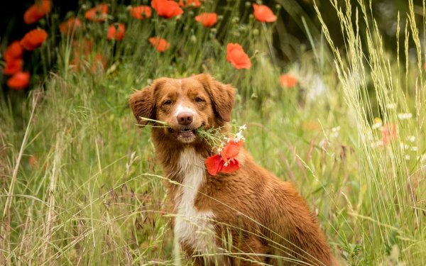 Animal Nova Scotia Duck Tolling Retriever Dogs Dog Pet Poppy HD Wallpaper   Background Image