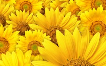Earth - Sunflower Wallpapers and Backgrounds ID : 107377