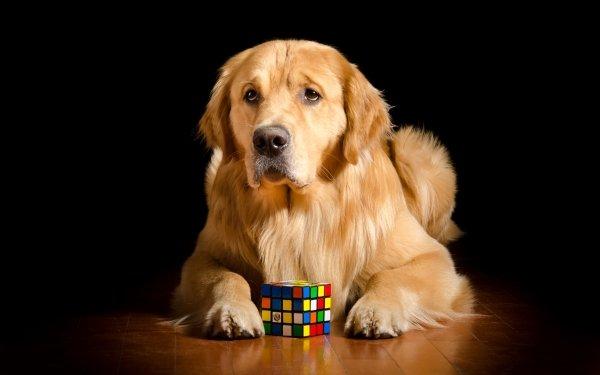 Animal Golden Retriever Dogs Dog Pet Rubik's Cube HD Wallpaper | Background Image