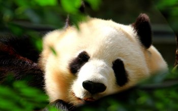 Dierenrijk - Panda Wallpapers and Backgrounds ID : 108435