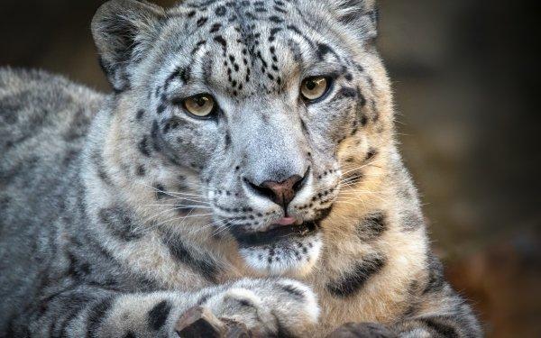 Animal Snow Leopard Cats Big Cat Wildlife predator HD Wallpaper | Background Image