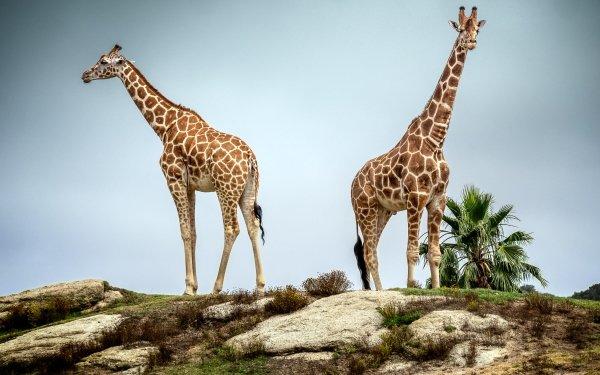 Animal Giraffe Wildlife HD Wallpaper | Background Image