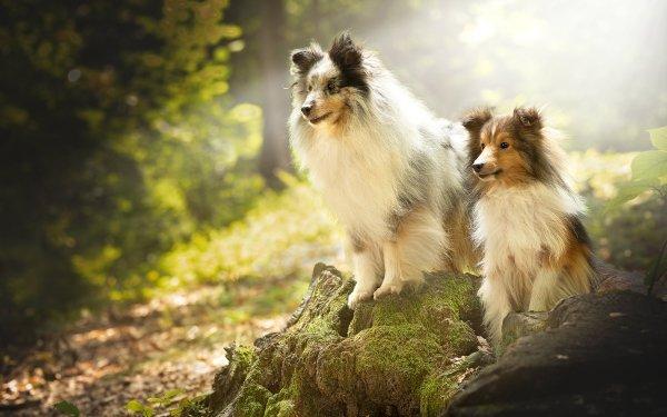 Animal Shetland Sheepdog Dogs HD Wallpaper   Background Image