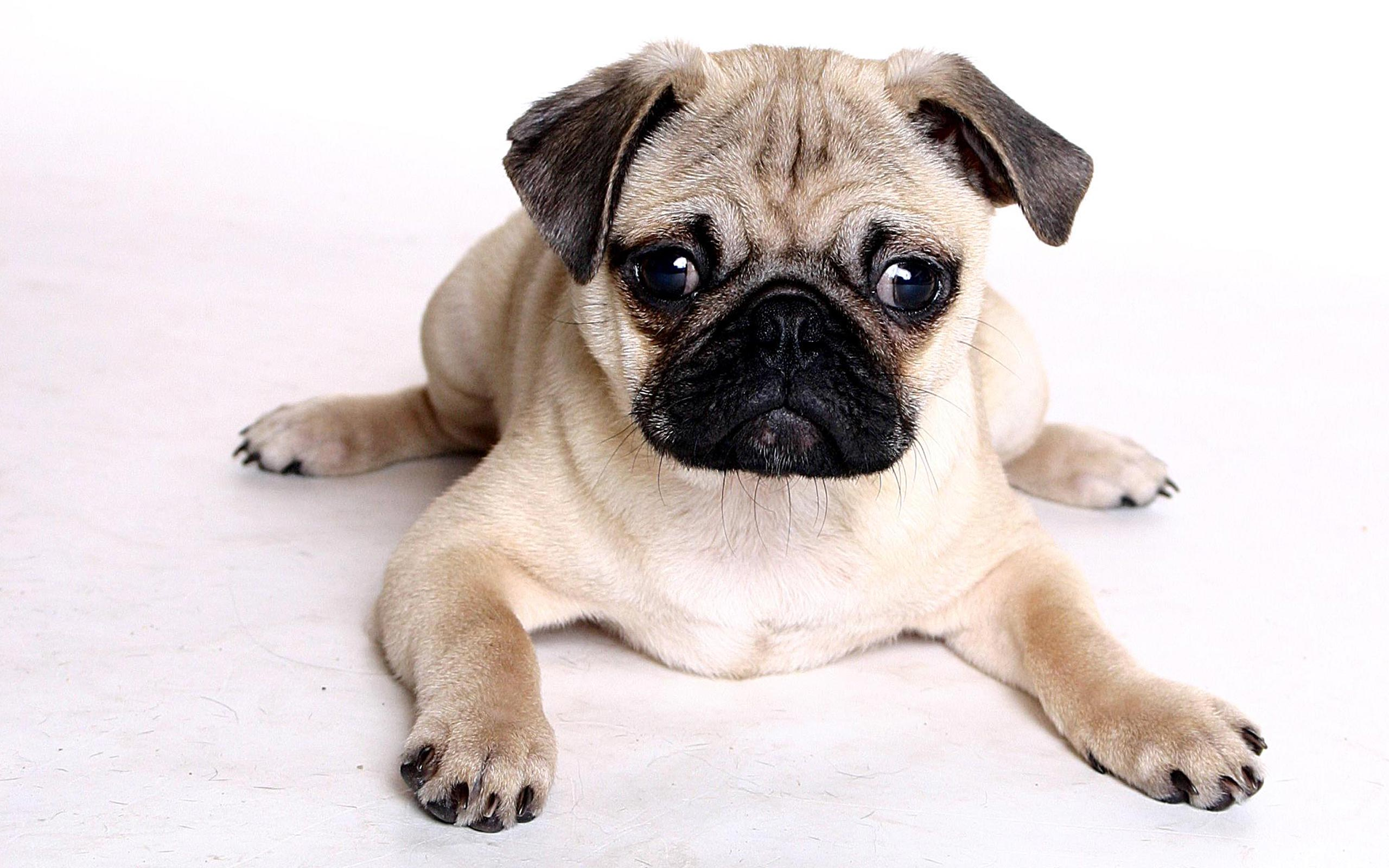 79 pug hd wallpapers | background images - wallpaper abyss - page 2