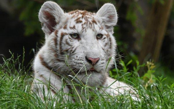 Animal White Tiger Cats Big Cat predator Wildlife HD Wallpaper   Background Image