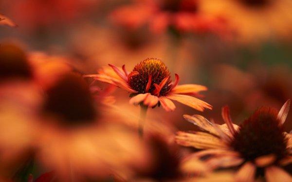 Earth Flower Flowers Rudbeckia HD Wallpaper   Background Image