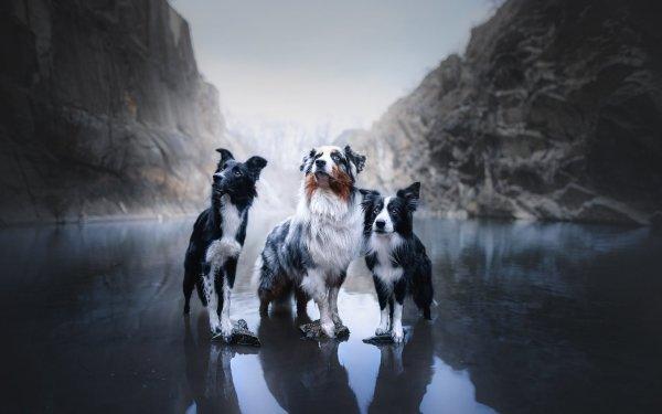 Animal Dog Dogs Australian Shepherd Border Collie Pet HD Wallpaper   Background Image
