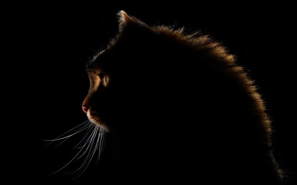 Animal Cat Cats Profile HD Wallpaper | Background Image