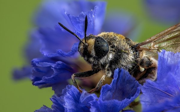 Animal Bee Insects Flower Macro HD Wallpaper | Background Image