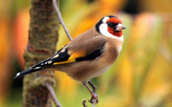 Animal Goldfinch Birds Passerines Bird Colorful Branch European Goldfinch HD Wallpaper | Background Image
