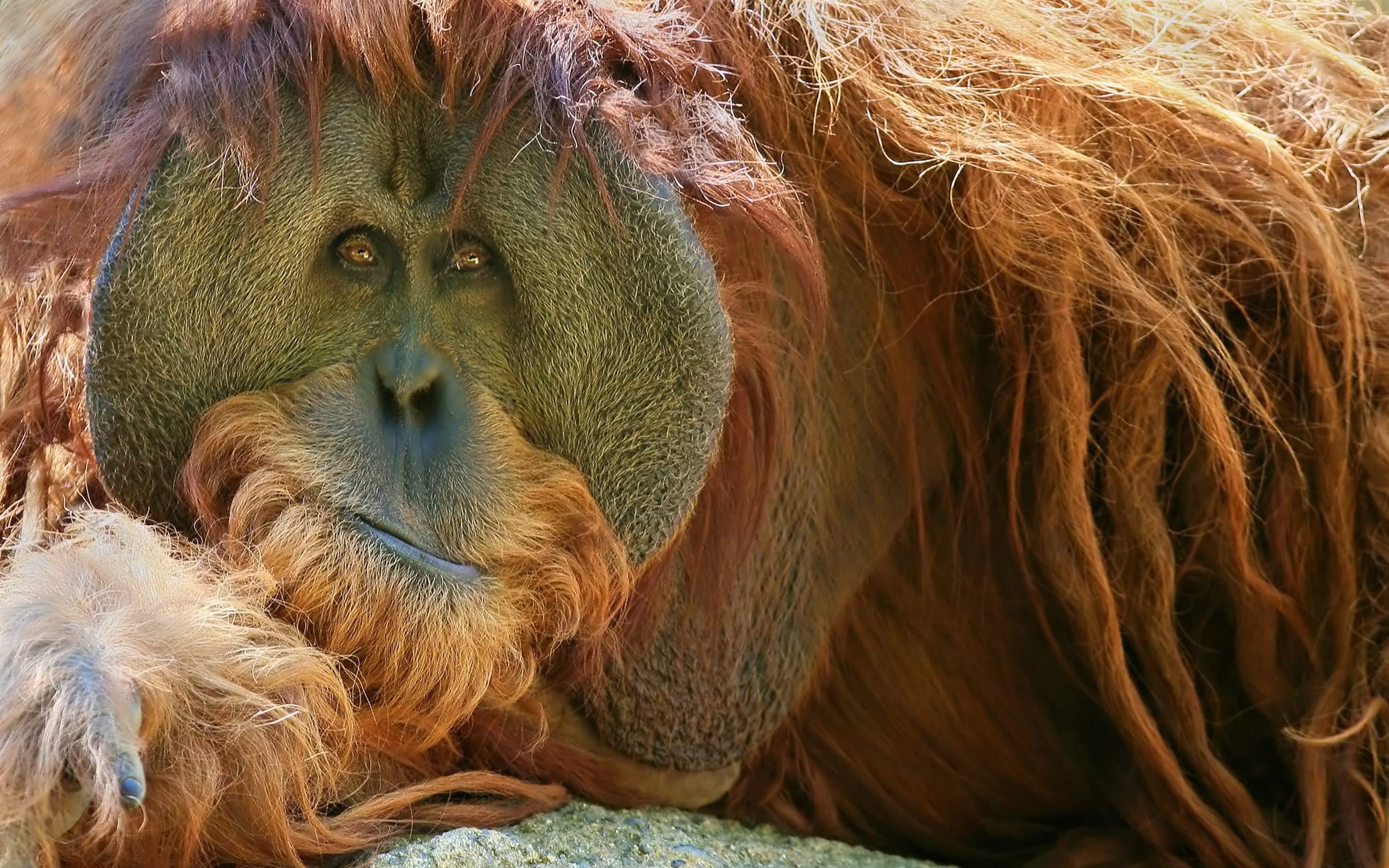 Orangutan Hd Wallpaper Background Image 2560x1600 Id110649