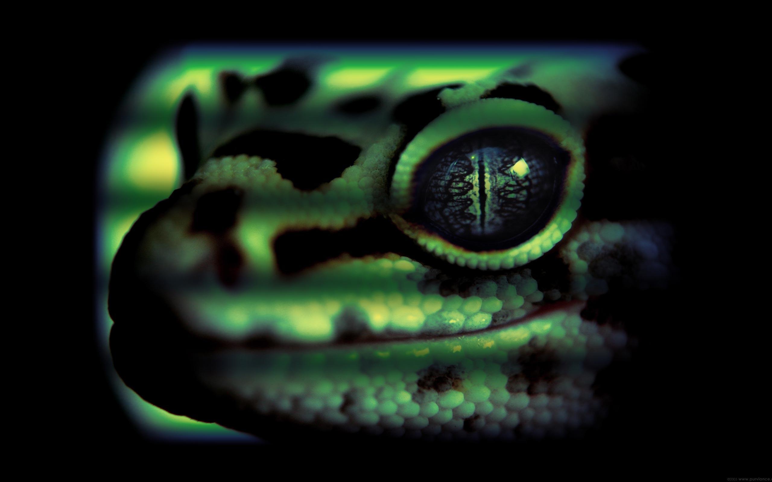 Animal - Lizard  Gecko Wallpaper