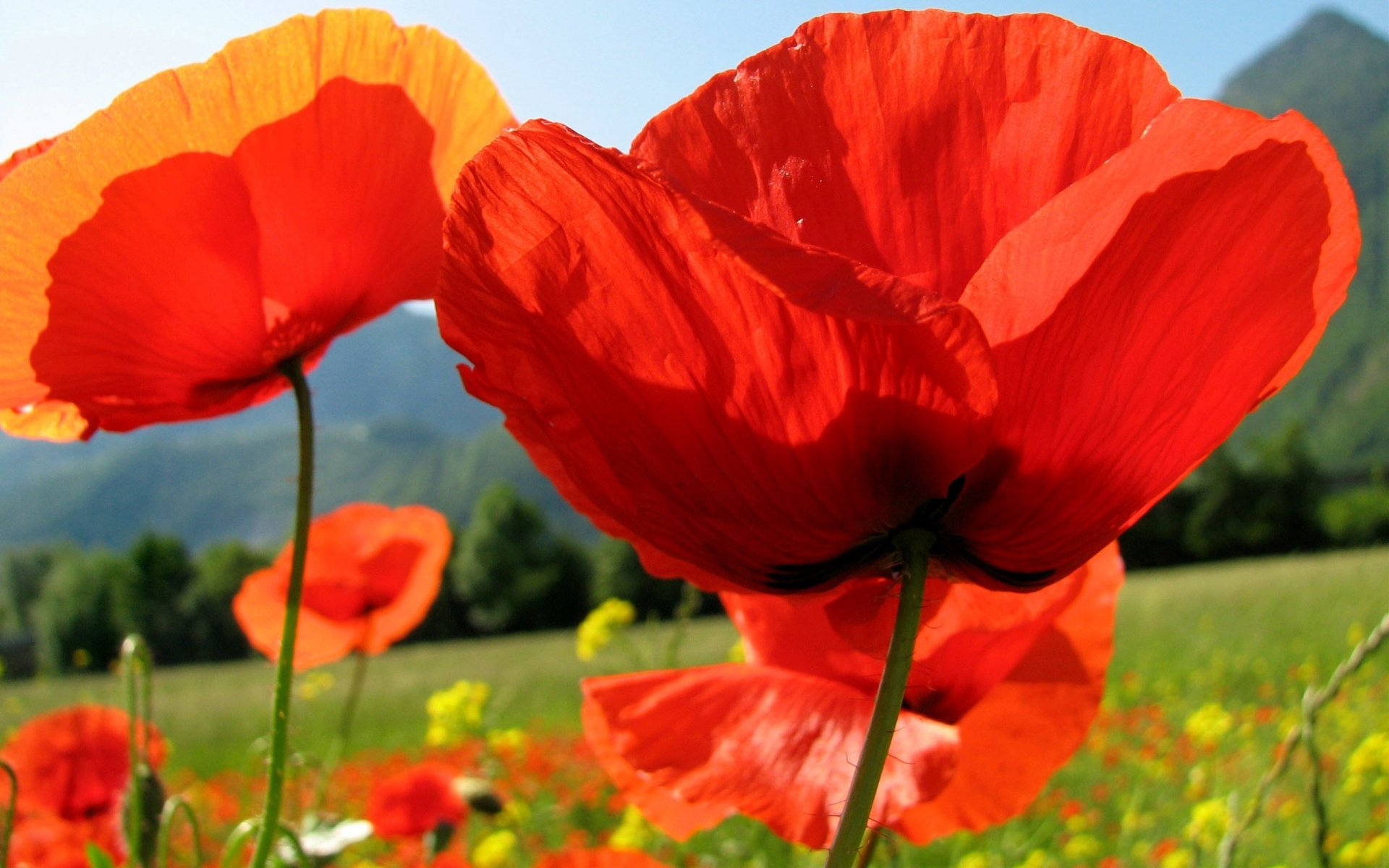 Earth - Poppy  Flower Wallpaper