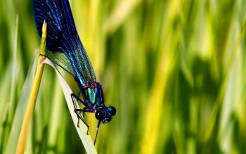 Animal - Dragonfly Wallpapers and Backgrounds ID : 110149