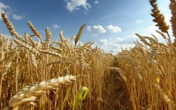 Earth - Wheat Wallpapers and Backgrounds ID : 110287