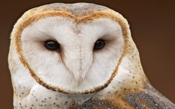 Animal - Owl Wallpapers and Backgrounds ID : 110359