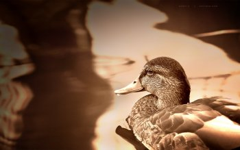 Animal - Duck Wallpapers and Backgrounds ID : 110427
