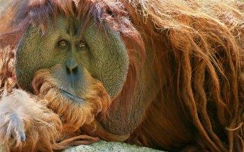 Preview Orangutan