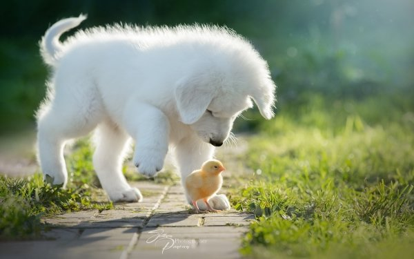 Animal Cute Dog Puppy Chick Pet HD Wallpaper | Background Image