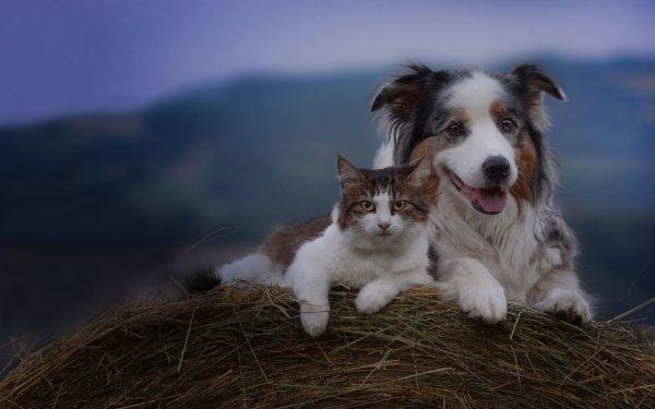 Animal Cat & Dog Cat Dog Australian Shepherd Pet HD Wallpaper   Background Image