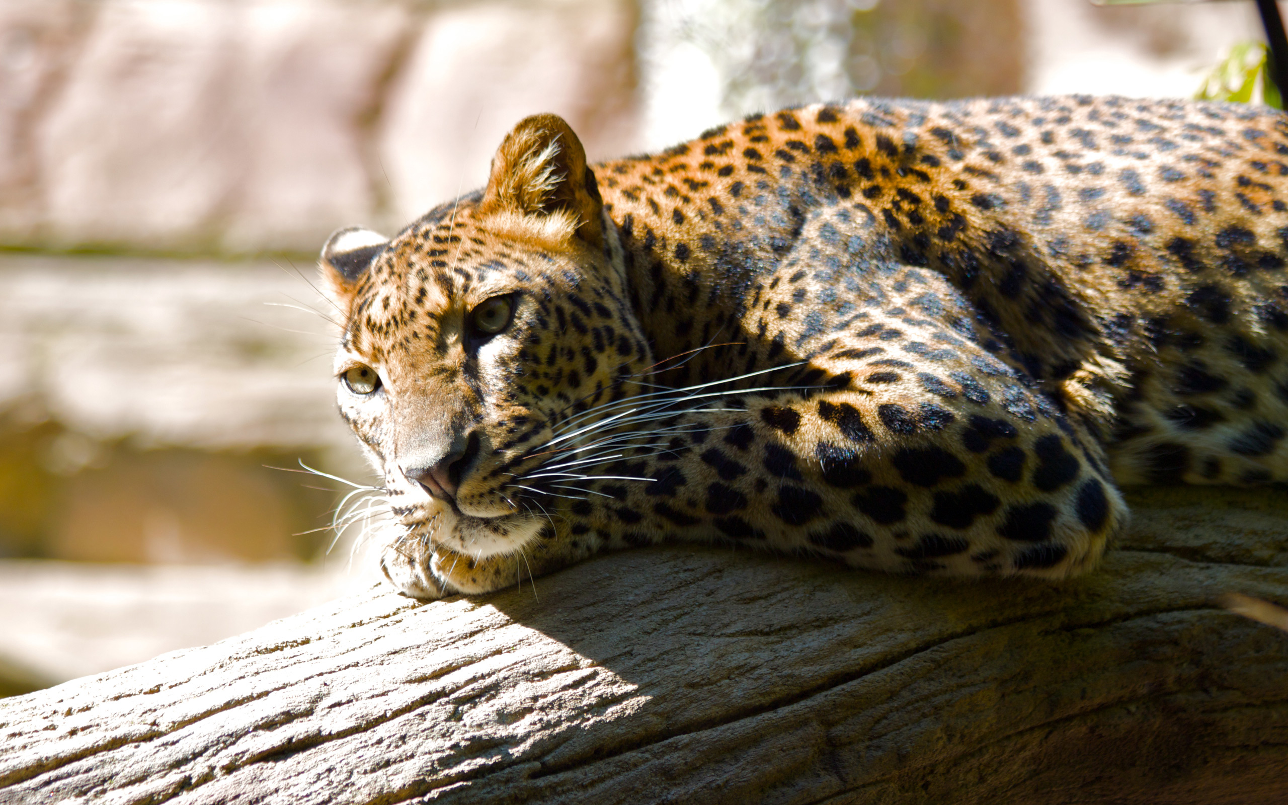Dangerous Animal Attacks: Jaguar Animal Wallpapers