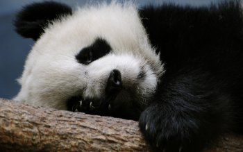 Animal - Panda Wallpapers and Backgrounds ID : 111335