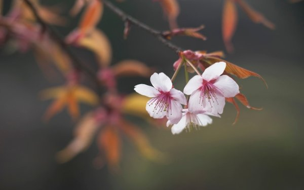 Earth Blossom Flowers Branch Spring HD Wallpaper | Background Image