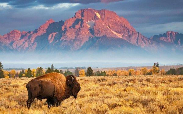 Animal American Bison Wyoming USA Grand Teton National Park HD Wallpaper   Background Image