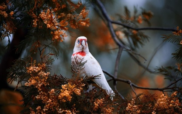 Animal Long-billed Corella Birds Parrots Bird Parrot HD Wallpaper | Background Image
