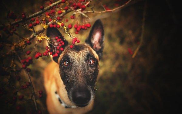Animal Belgian Malinois Dogs Dog Pet Malinois Belgian Shepherd HD Wallpaper   Background Image